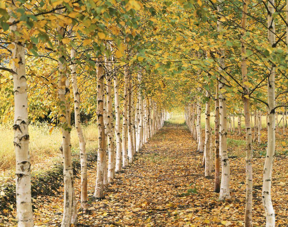 Downy birch