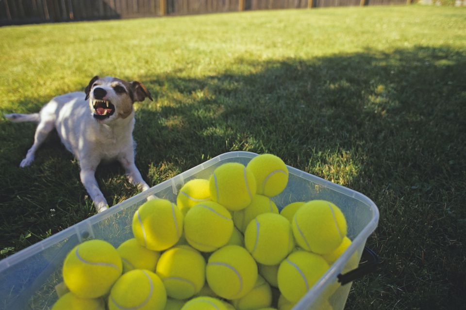 Jack Russell Terrier in backyard on a sunny day in the shade growling and protecting a bin of tennis balls