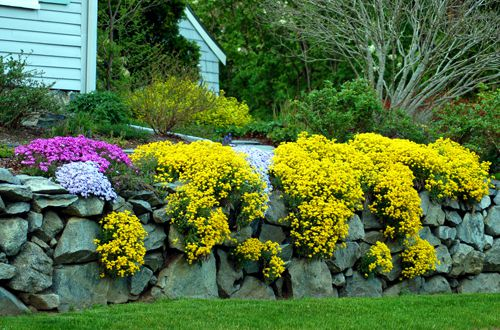 Yellow flowers pictures for garden inspiration ground cover with yellow flowers mightylinksfo