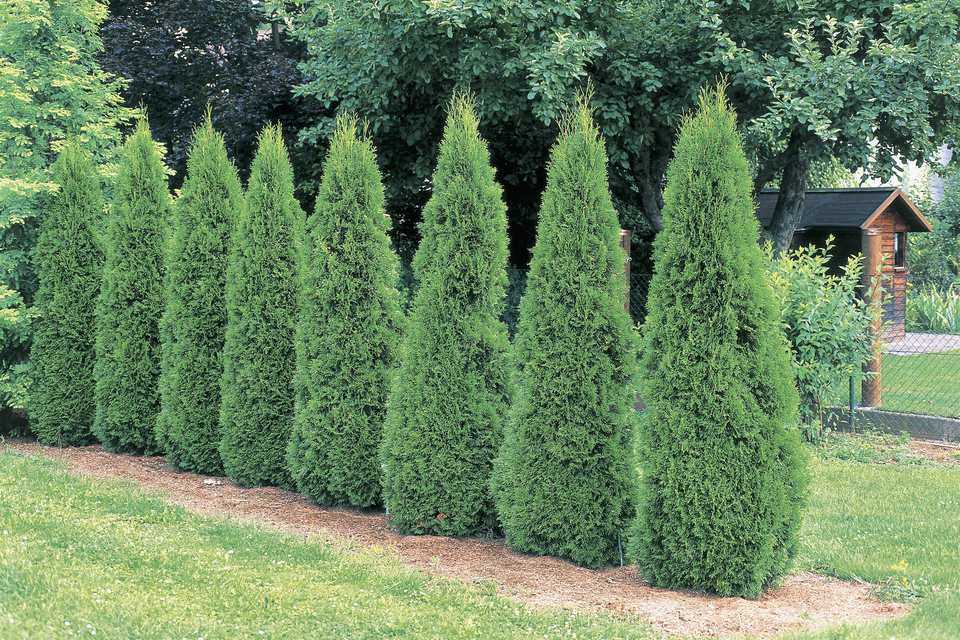 Emerald Green arborvitae shrubs growing in a loose hedge.