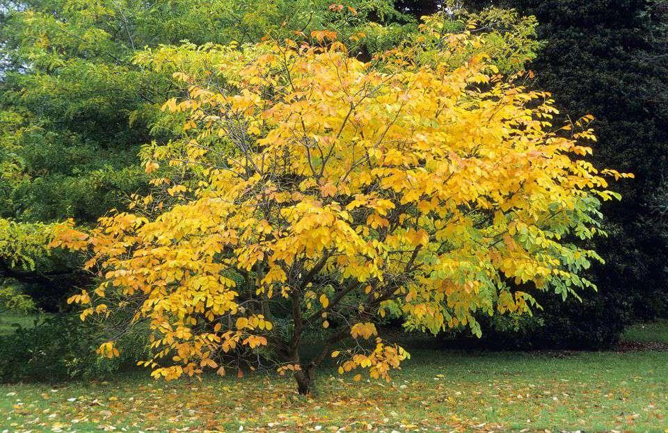 yellow wood tree