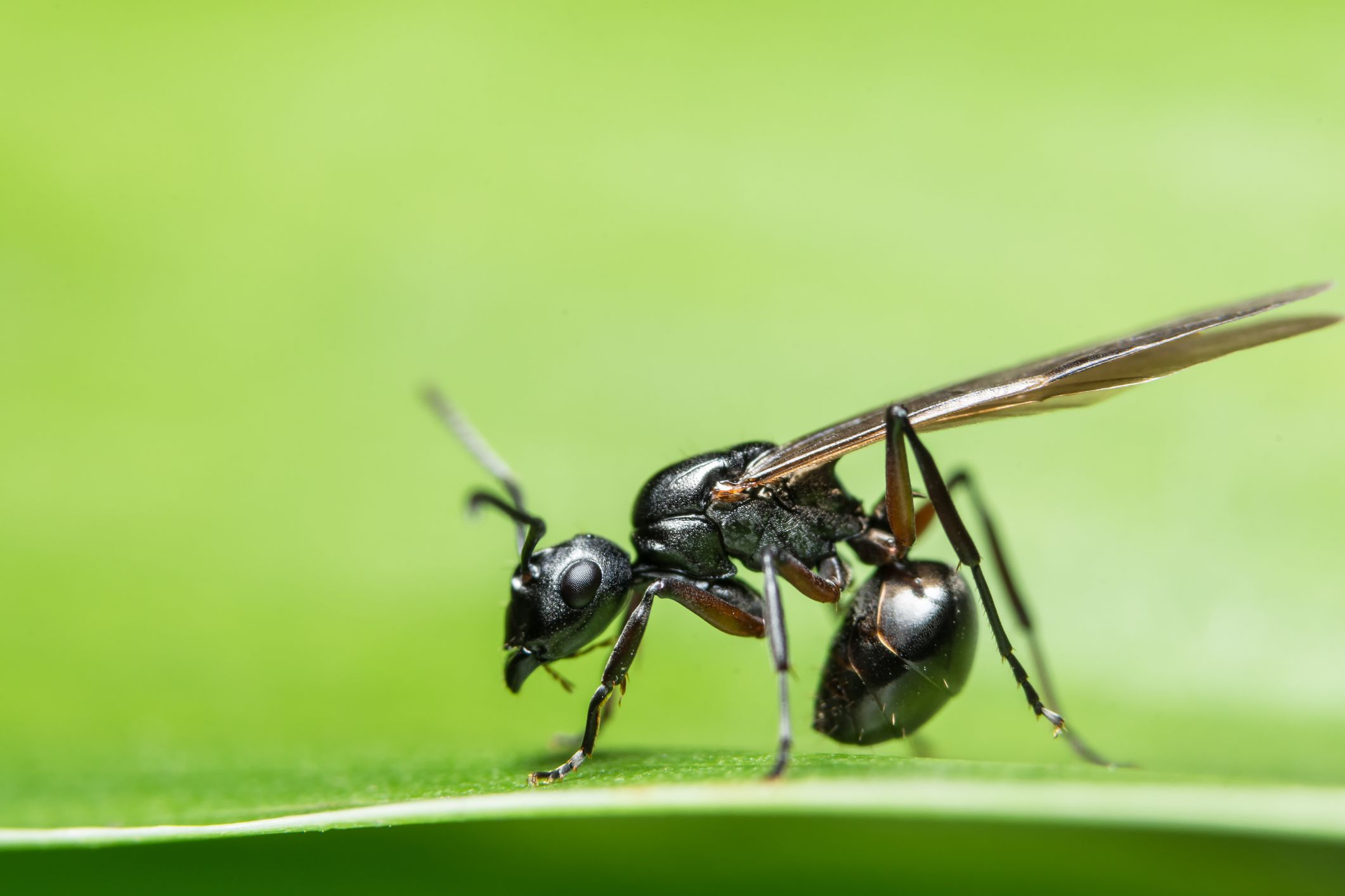 What to Do About Flying Ants in Your Home