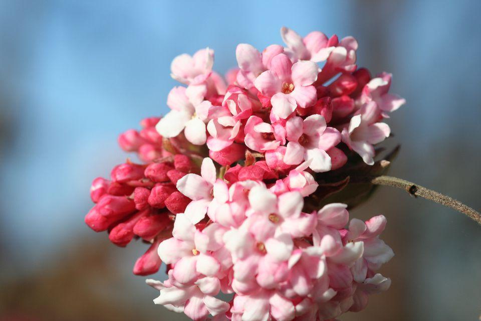 White flower plants that are part of the viburnum genus characteristics of viburnum mightylinksfo