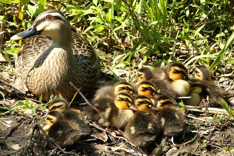 Duck Image #8