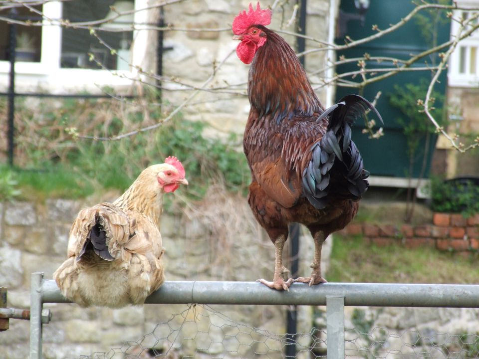 A hen and a rooster perching on a fence