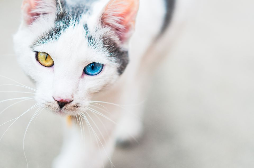 Moggie mixed breed cat