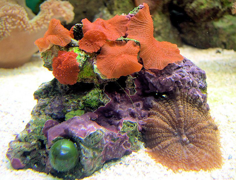 Red Mushroom Coral (Discosoma sp.) Image
