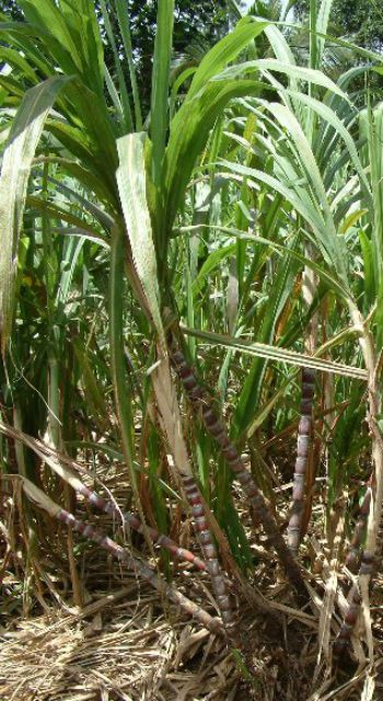 Sugar cane plant ( Saccharum officinarum )