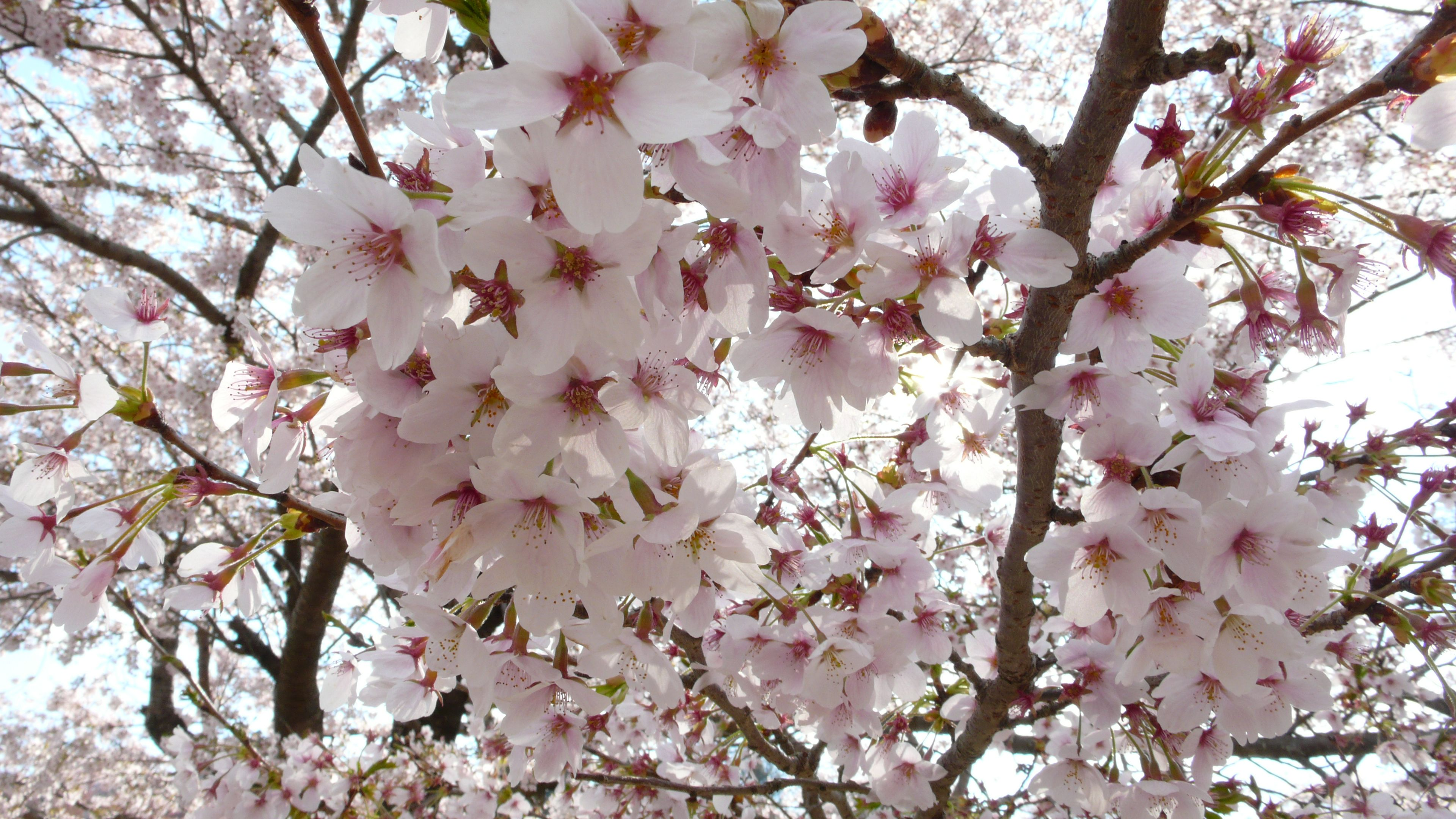 How to See the Washington DC Cherry Blossoms Safely in 2021