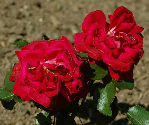 "Picture of scarlet color rose. ""Frankly Scarlet"" is the rose's name."