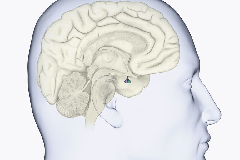 The pituitary gland (in blue) produces human growth hormone.