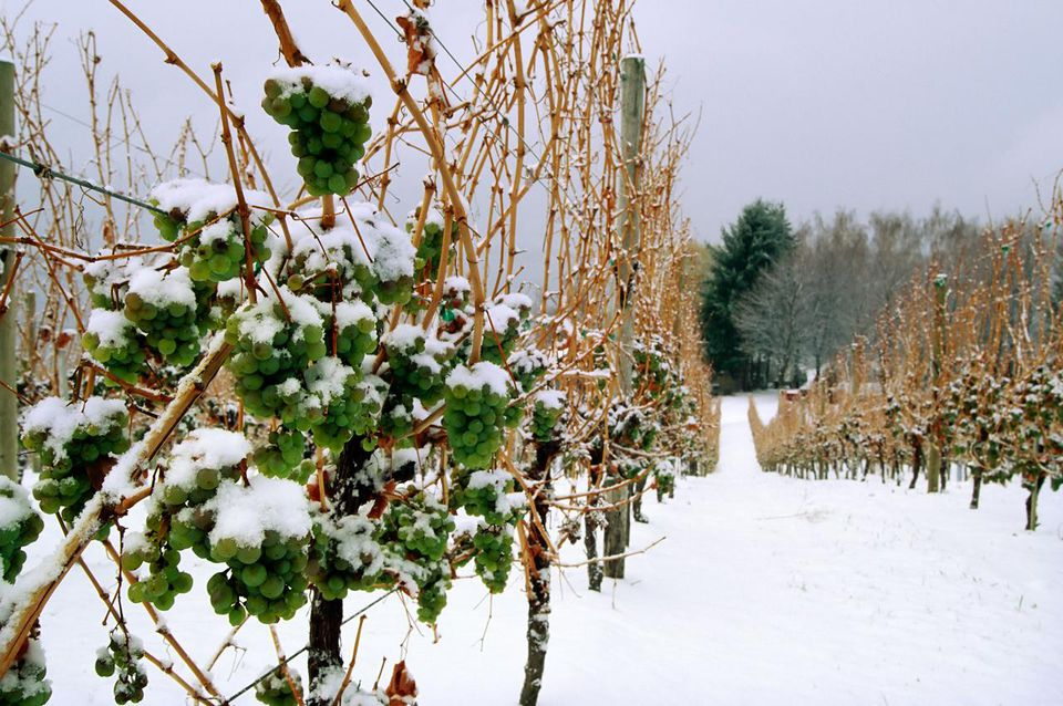Frozen grapes on the vine for ice wine
