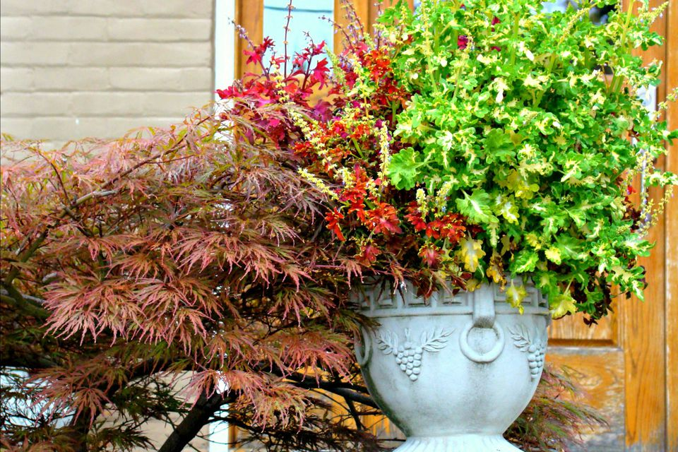 japanese maple and fall container