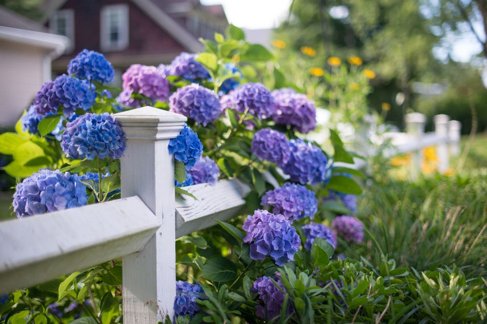 Beautiful hydrangea varieties
