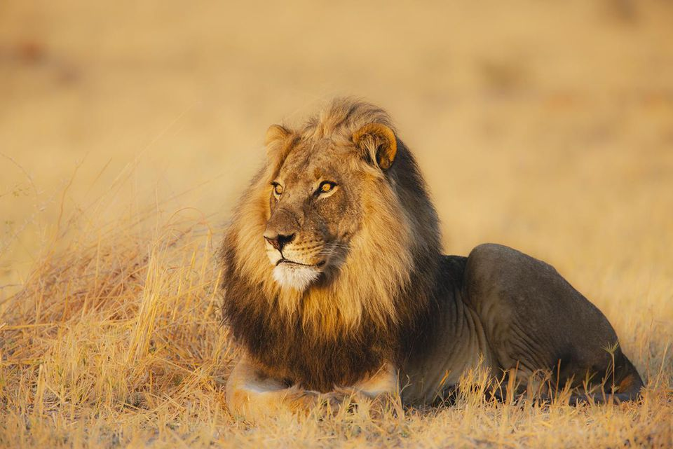 Most Iconic African Safari Animals Lion
