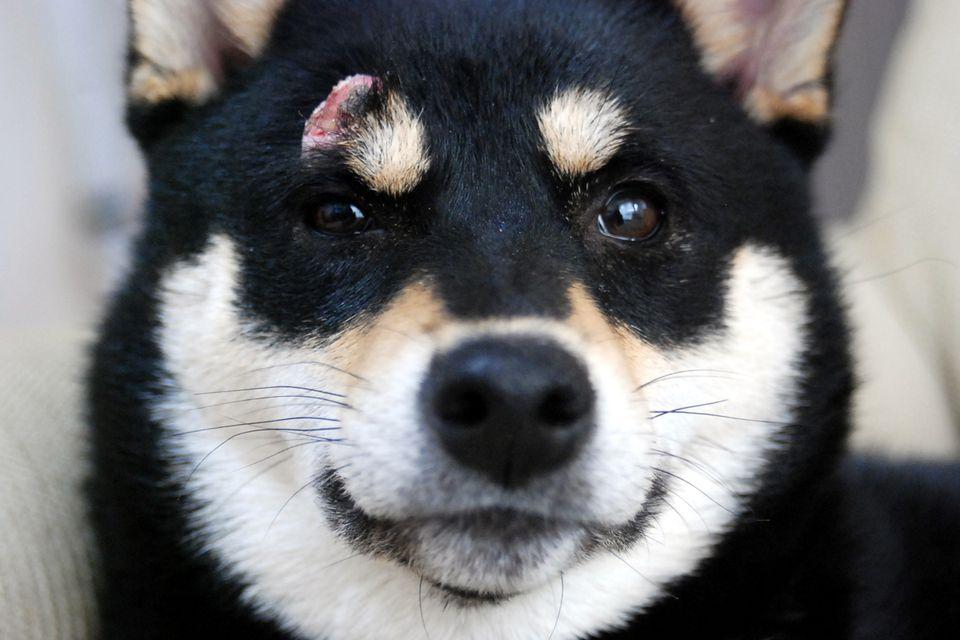Histiocytoma on shiba inu dog