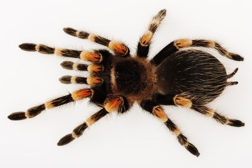 Redknee tarantula.