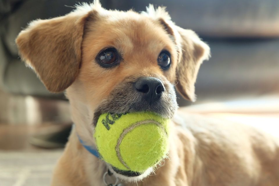 Terrier puppy with tennis ball