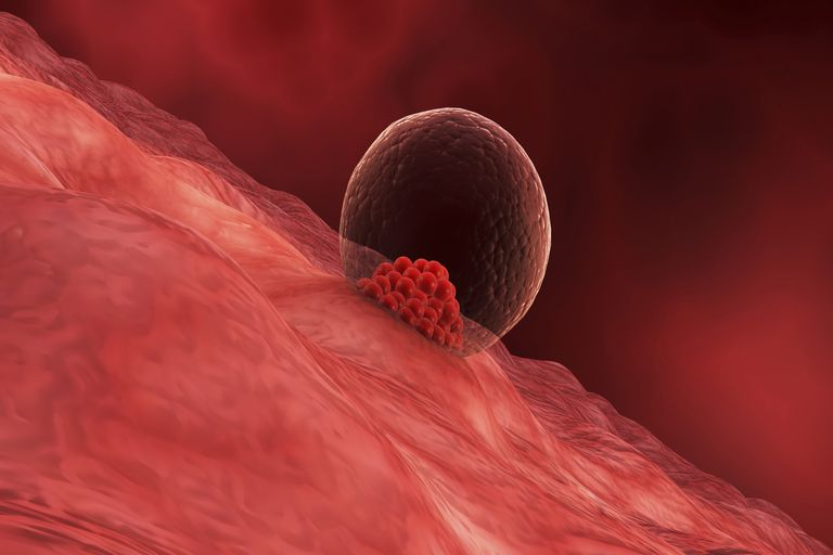 Implantation And The Start Of Pregnancy
