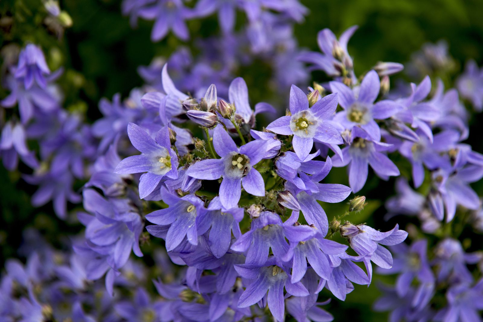 Long blooming perennial flowers dhlflorist Image collections