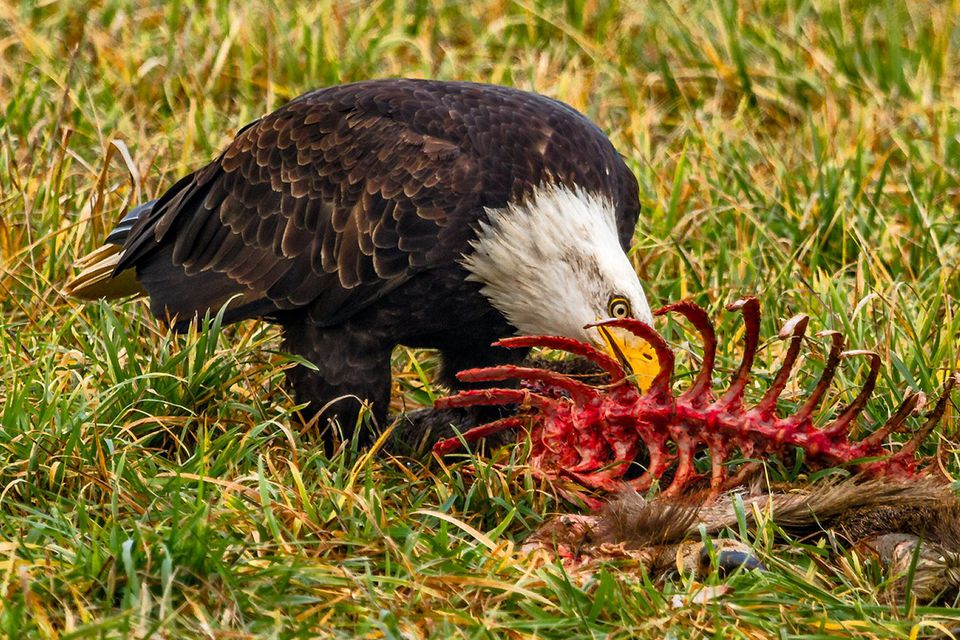Bald Eagle Eating Carrion