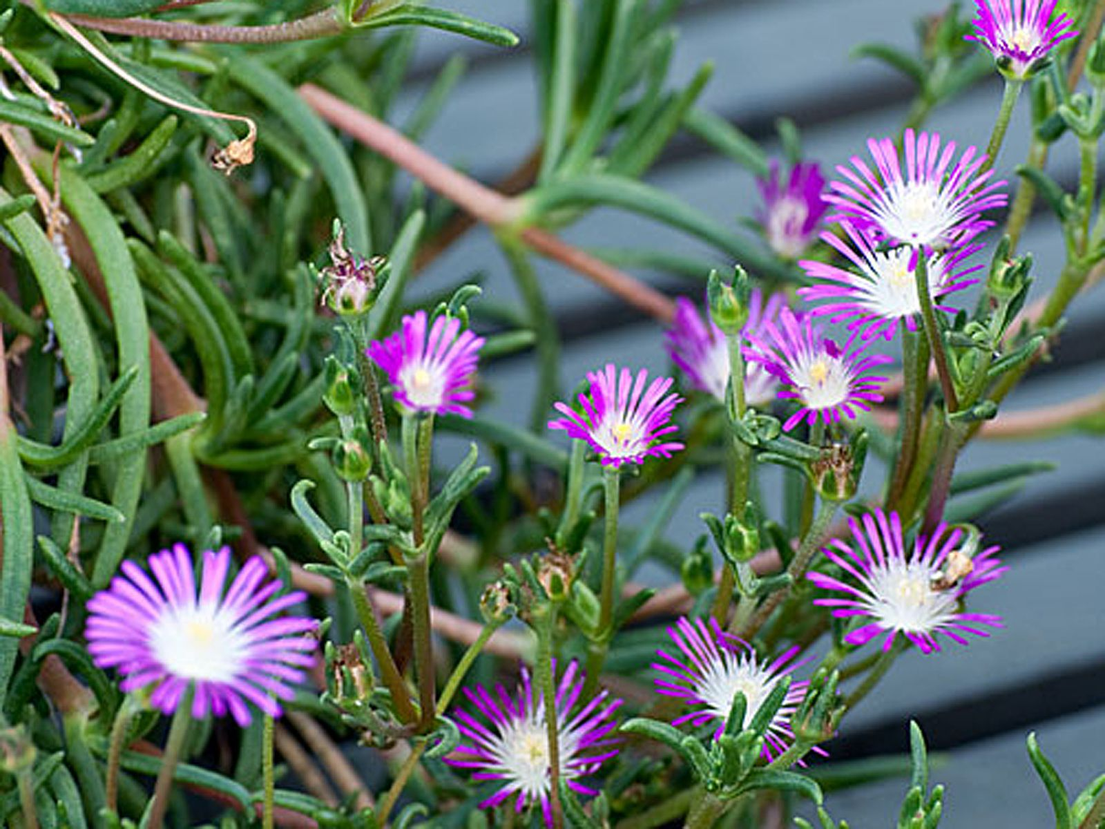 String of bananas plant - How To Grow And Care For Unusual Ice Plants