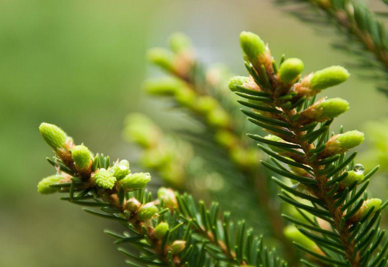 Arbor Day Eastern hemlock tree close-up