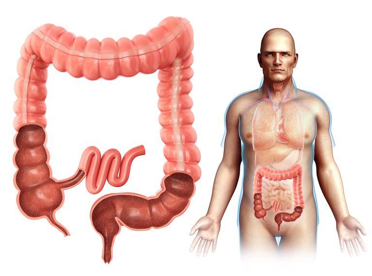 Male large intestine anatomy, illustration