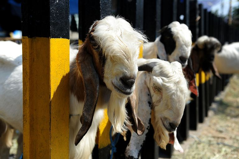 Eid Al-Adha goats