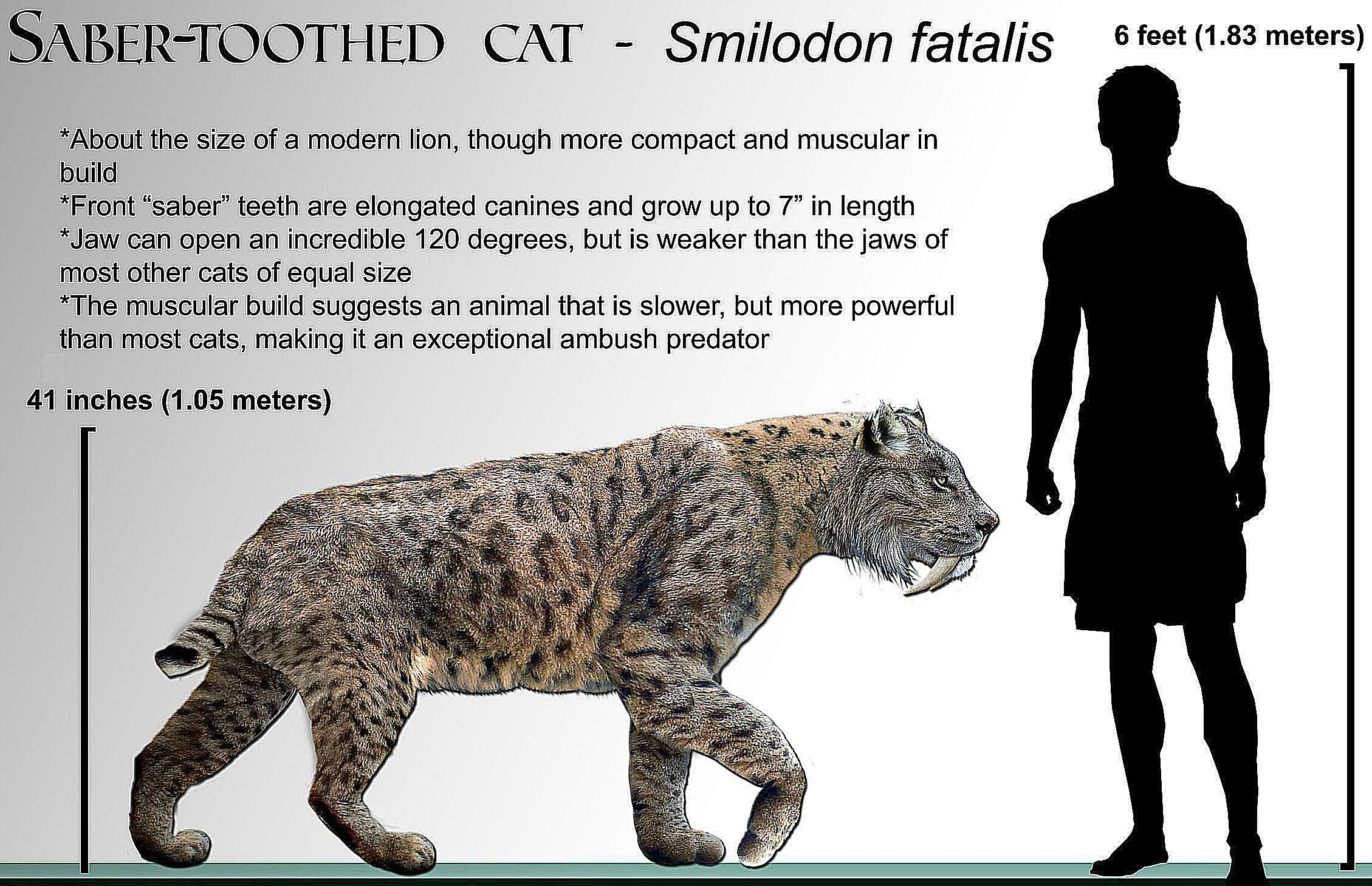 10 facts about the saber tooth tiger