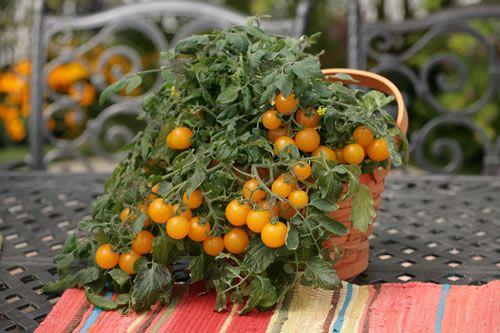 Tomato 'Tumbling Junior Yellow'