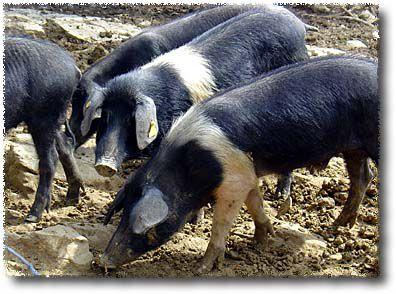 Cinta Senese: Siena's classic heirloom pig