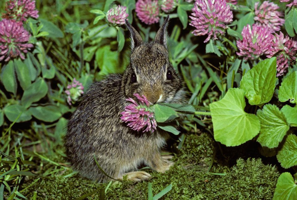 Baby rabbit eating clover