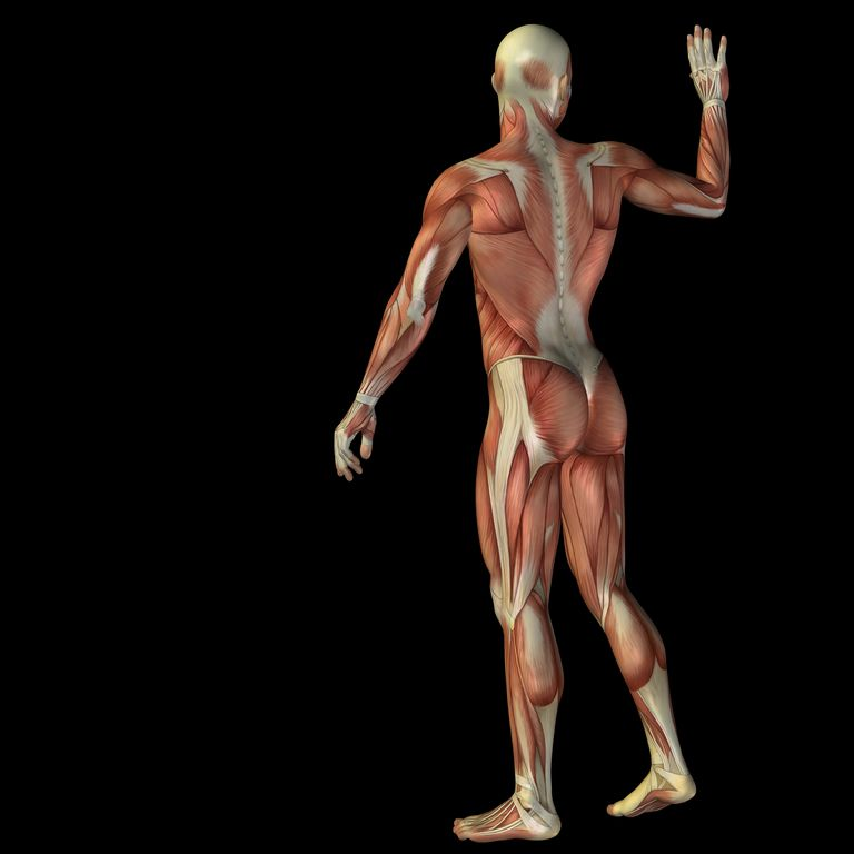 Image of muscular system of man waving.