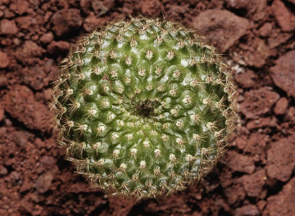 Rebutia, Crown Cactus