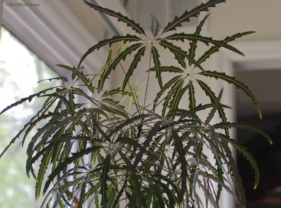 False Aralia