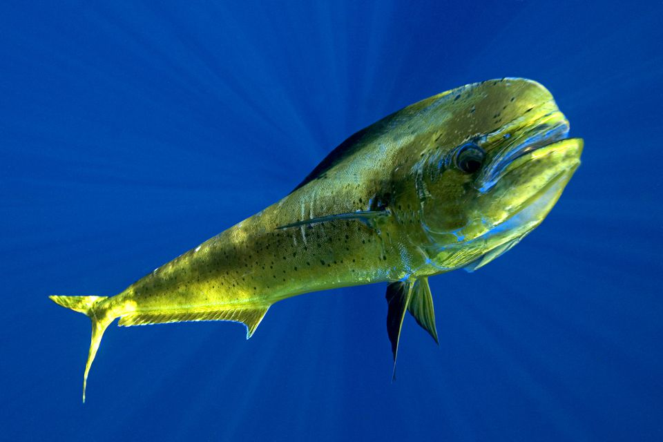 Brightly Colored Mahi Mahi Or Dolphinfish