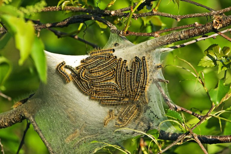 Eastern tent caterpillars on silk tent