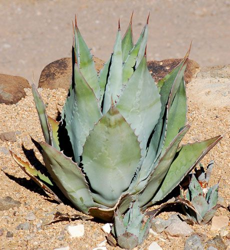 Agave picture. Although it's not a cactus, agave, as the photo shows, is easily mistaken for a cactu