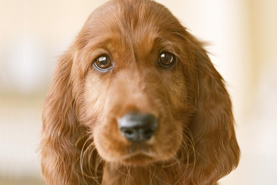 Irish setter puppy, close-up