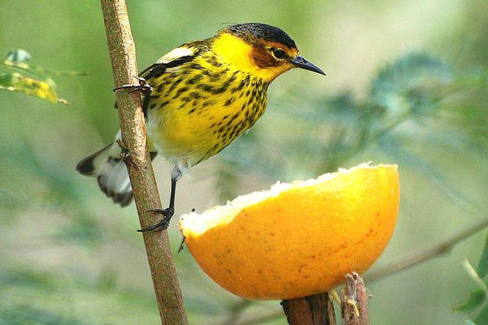 warbler-orange.jpg