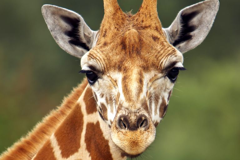 Giraffes belong to the tetrapods, one of the four basic groups of vertebrates.