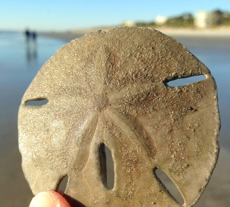 Sand Dollar at Palmetto Dunes Beach