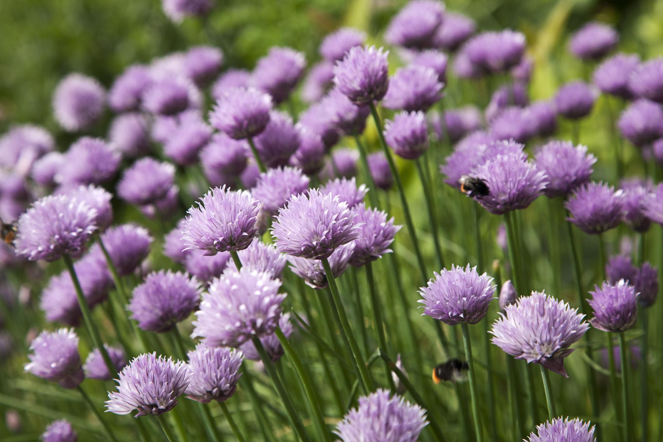 5 Hardy Herbs For Short Season Gardeners