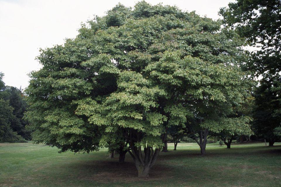 Vine-leafed Maple leaves (Acer cissifolium), Aceraceae-Sapindaceae