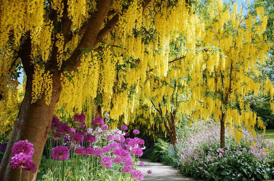 Golden chain trees in bloom with alliums.