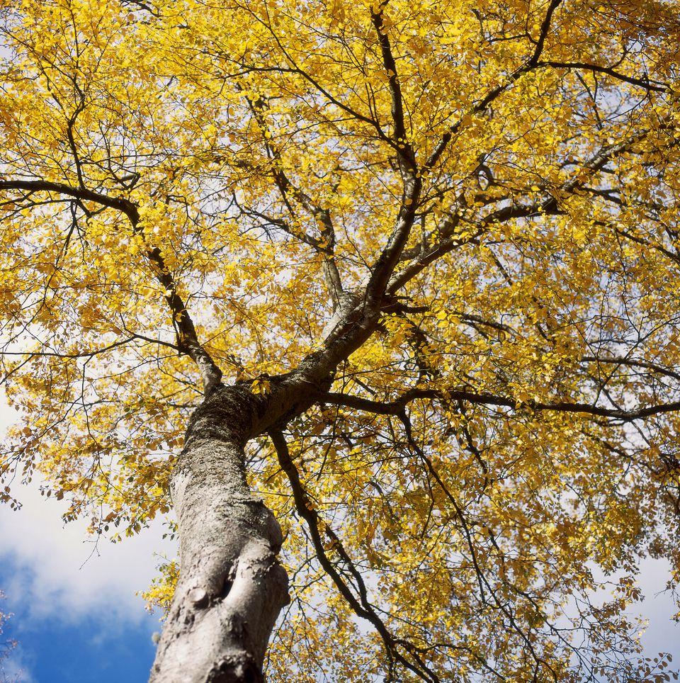 Sweet birch tree