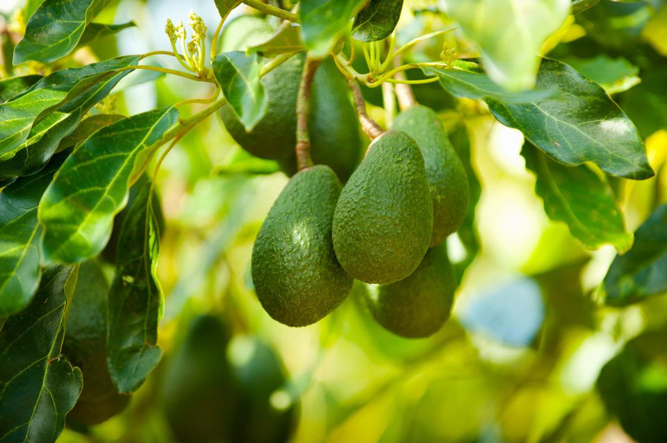 Avocados on a tree, Santa Paula, Ventura County, California, USA