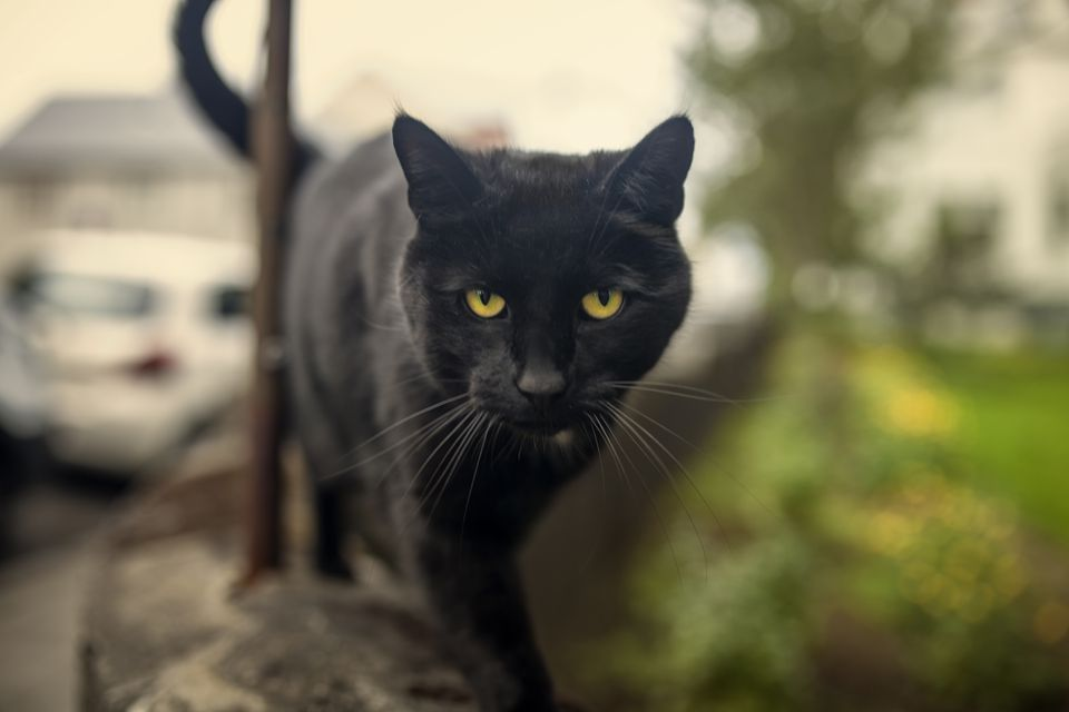 Bombay cat, Black cat