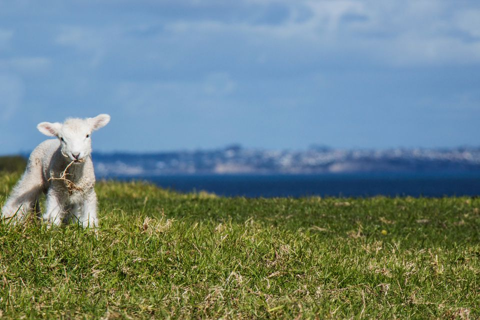 Lamb Grazing On Grassy Field Against Sky
